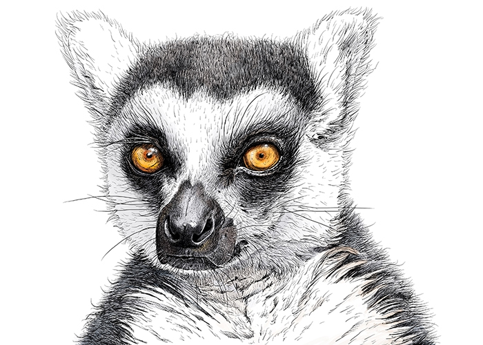 Animal Portrait - Lemur Katta